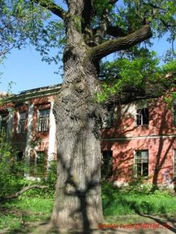 Двухсотлетний дуб помнит еще Александра I. Фото 2011 года.